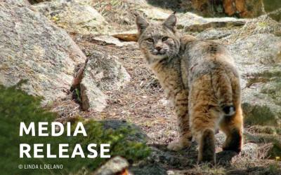 California Bans Bobcat Trapping