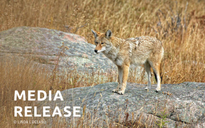 PROJECT COYOTE DENOUNCES CITY OF ARCADIA'S DECISION  TO TRAP AND KILL COYOTES