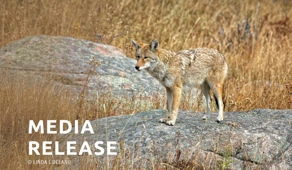 Wildlife Protection Organizations Call for Statewide Ban on Fox and Coyote Penning