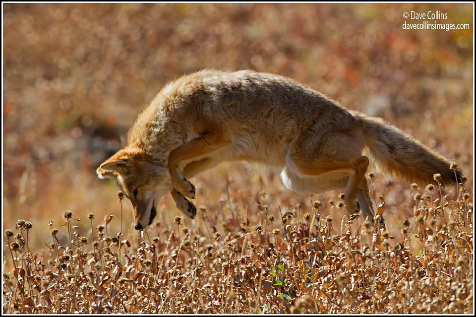 project coyote Tag: project coyote bobcat trapping banned in california posted on august 6, 2015 august 6 we stand with project coyote, center for biological diversity.