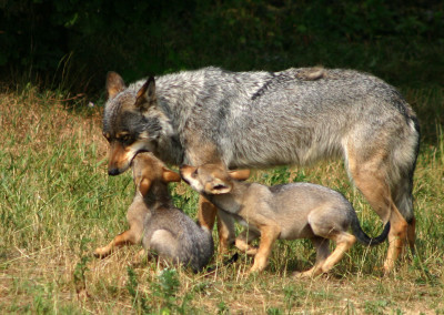 The War Against Wolves and Wildlife