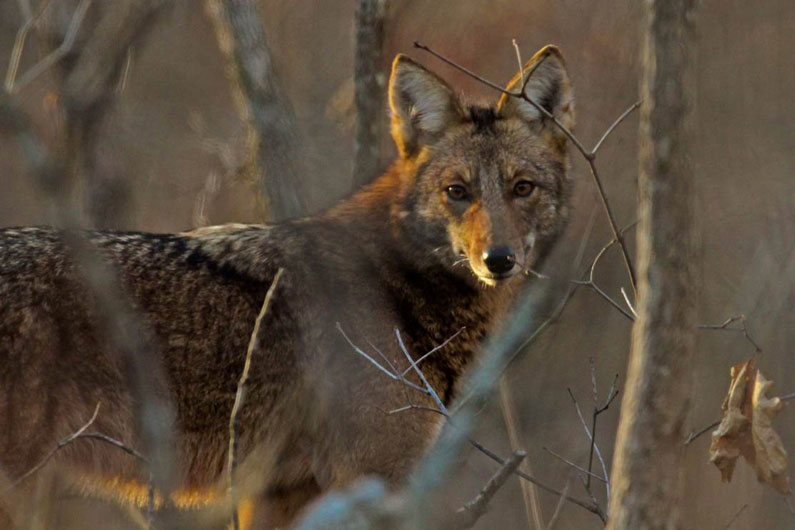 Coyote hunt organizer won't stage any more events in Oregon