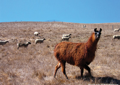 Llama Stands Guard