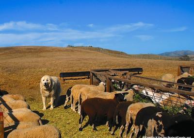Marcia Barinaga Ranch Guardian Great Pyrenees