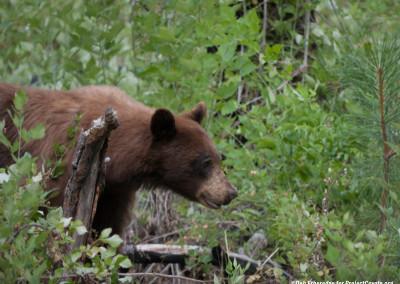 Black Bear Hunts for Berries