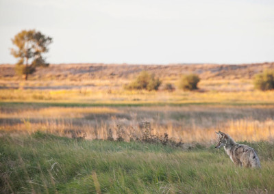 Nearly 40,000 oppose Idaho  wolf-hunting contest