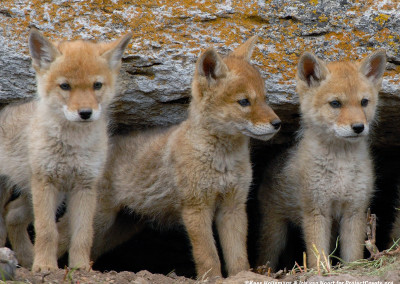 Coyote Pups Emerge From Their Den