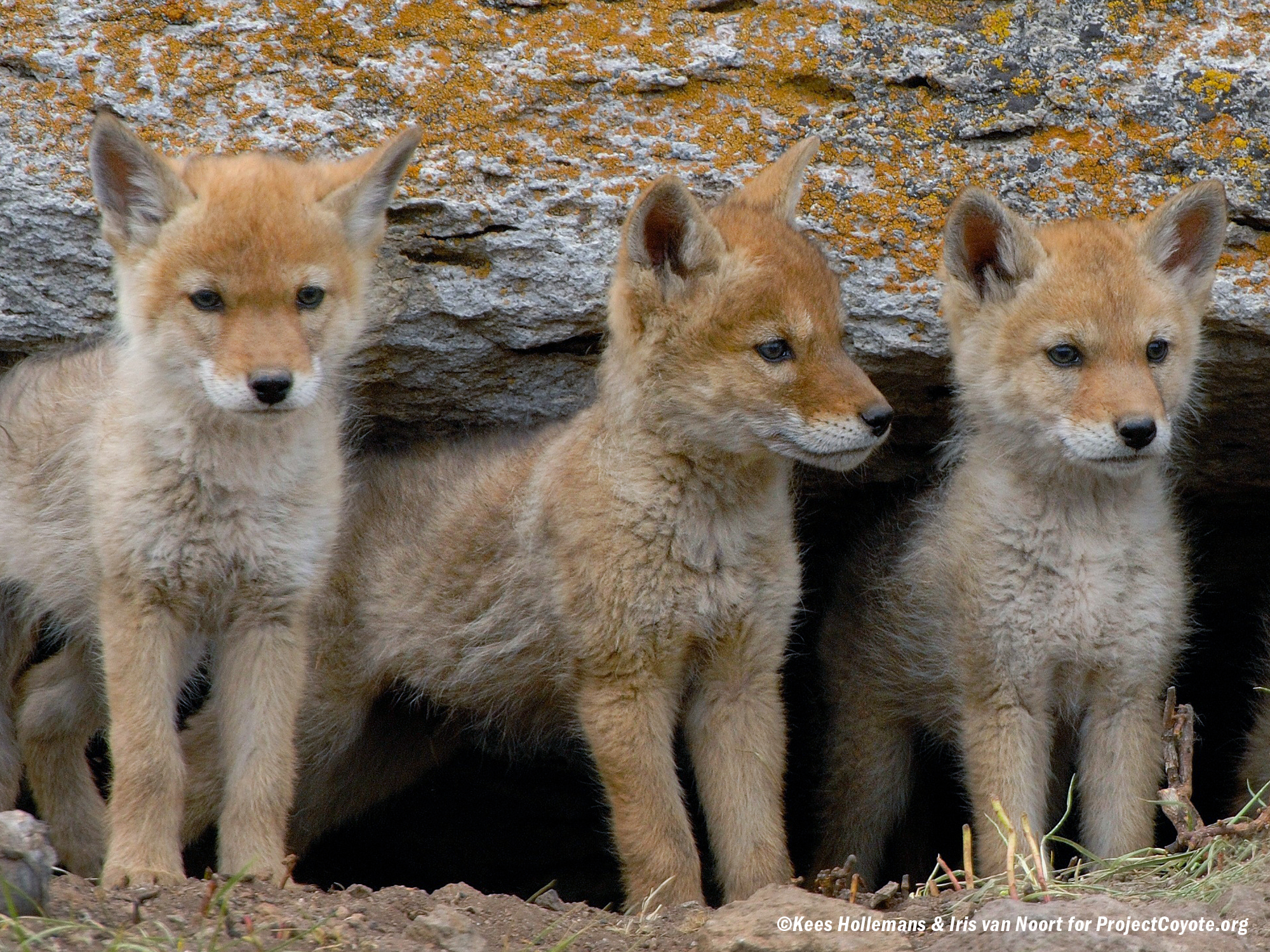 Project Coyote Lies: exposing the animal rights group lies