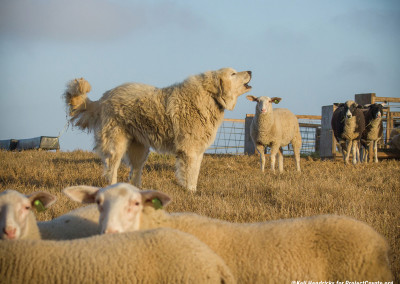 Big Otis Looks After Sheep