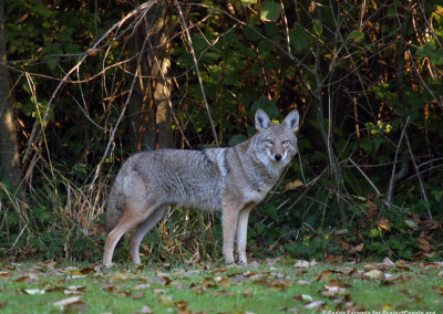 Coyote Spotted Visiting Backyard
