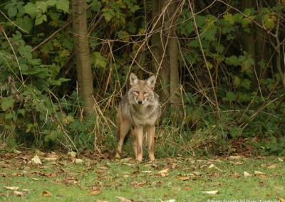 Coyote Visits Backyard