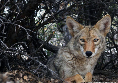 Coyote Retreats to Cover