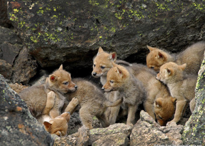 Coyote Pups at Den Site