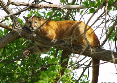 Mountain Lion Takes a Rest