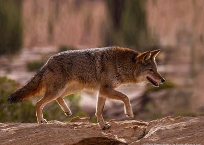 Coyote Walking Across Rocks