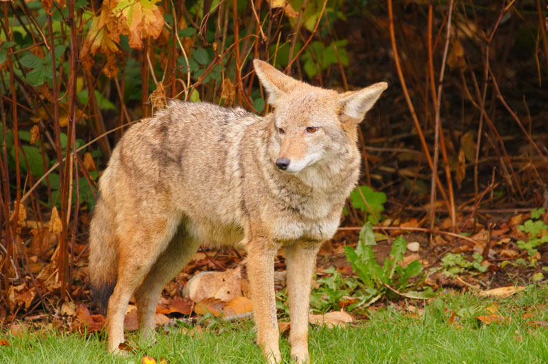 Killing of 11 coyotes in California infuriates conservationists