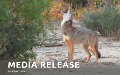 Senators Steinborn and Moores renew call to ban coyote killing contests in New Mexico