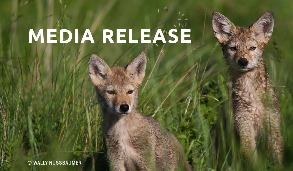 Wildlife advocacy organizations host multi-city premiere screenings of new documentary film, seeking to end coyote killing contests in New Mexico