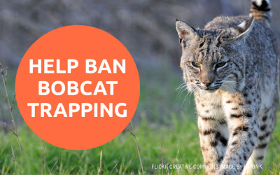 ACTION ALERT: Help Ban Bobcat Trapping in California
