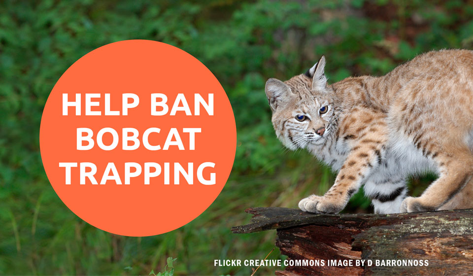 HELP BAN BOBCAT TRAPPING IN CALIFORNIA