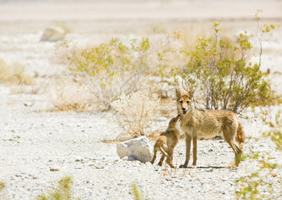 Why wildlife killing contests cannot be justified ecologically or ethically