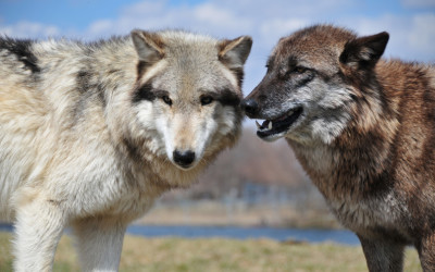 On Killing Wolves and Other Animals: Should Only Trained Ethicists Weigh In?