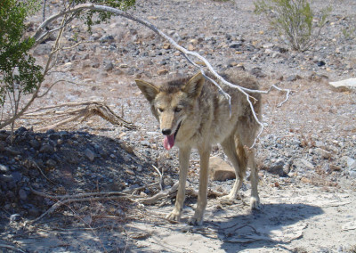 Critics try to ban coyote hunting contests