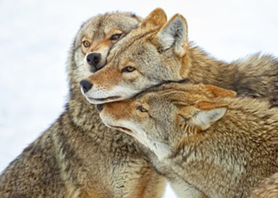 California First State To Ban Wildlife-Killing Contests, Activists Say