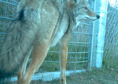 Animal Protection Groups Stop Coyote Killing Contest