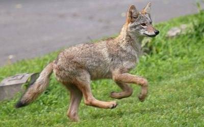 Denver's Coyotes Learn to Live with Human Neighbors