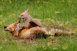 ACTION ALERT: Speak Out Against Coyote & Fox Penning in VA