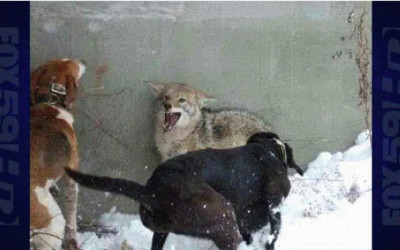 ACTION ALERT: Speak Out Against Brutal Coyote/Fox Penning in Indiana