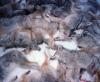 ACTION ALERT: Utah Poised To Offer Bounty For Killing Coyotes