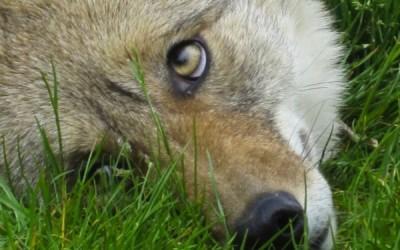 ACTION ALERT: Prevent Cruel Coyote Trapping in the City of Carson, California
