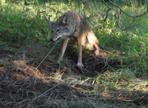 ACTION ALERT: Help Protect California Wildlife From Cruel Trapping Practices