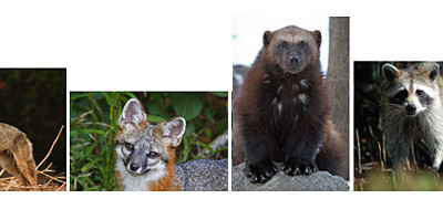 ACTION ALERT: Congresswoman Nita Lowey Reintroduces H.R. 2657- Refuge from Cruel Trapping Act of 2011
