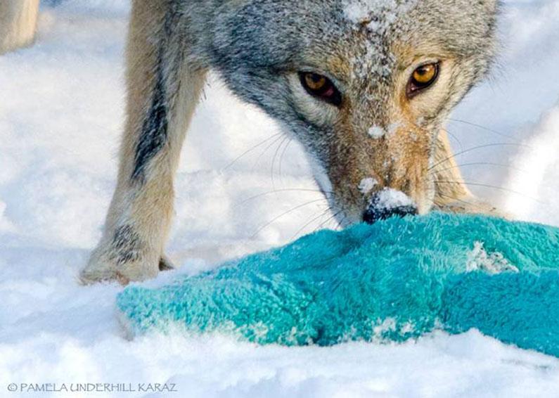 coyote-dog-3
