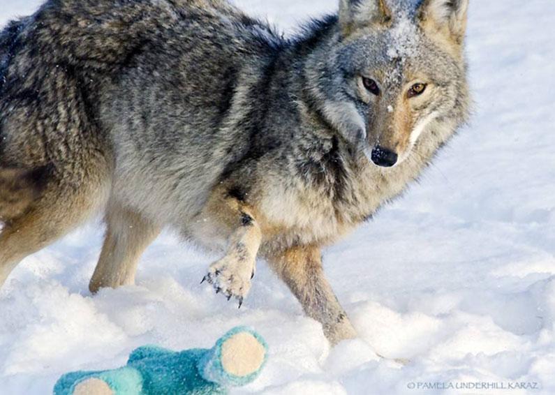 coyote-dog-5