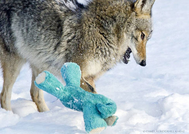 coyote-dog-7