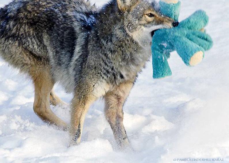 coyote-dog-9