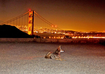 Cities are for Wildlife: An Interview with Camilla Fox, Founder and Executive Director of Project Coyote