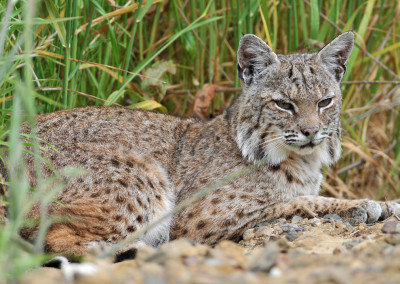Wildlife advocates back state ban on trapping bobcats