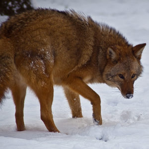 Rumney, NH:  Becoming Wolf - Eastern Coyote in New England @ Quincy Bog Nature Ctr | Rumney | New Hampshire | United States