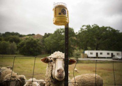 Mendocino County dumps federal killings of livestock predators