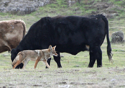 Why Killing Coyotes is Counterproductive
