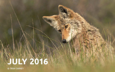 Coyote Chronicles July 2016