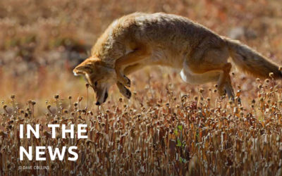Coyote-killing contests in the Land of Enchantment