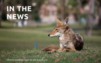 'Coyote America': a wild, smart predator determined to survive