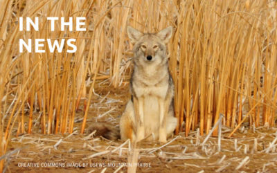 Commentary: No, we don't need to kill coyotes