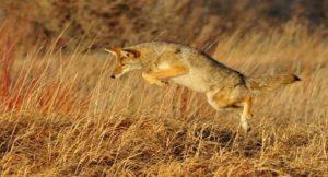 Marin County, CA: Coexisting with Coyotes: Celebrating the Marin Coyote Coalition @ Marin Humane Society Auditorium | Novato | California | United States